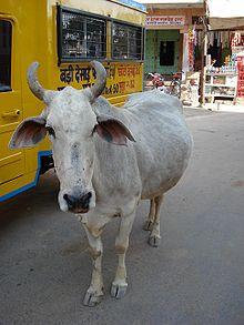 Rituel de la Vache en Inde  dans VACHE - BOEUF....