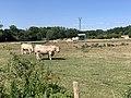 Vaches Pré Route Sauzey Bey Ain 3.jpg