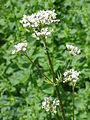 Valeriana officinalis00.jpg