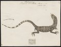Varanus bivittatus - 1700-1880 - Print - Iconographia Zoologica - Special Collections University of Amsterdam - UBA01 IZ12400017.tif
