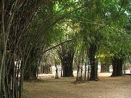 bambusové stromy