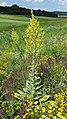 Verbascum speciosum sl10.jpg