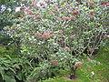 Viburnum tinus spp subcordatum (Habitus).jpg