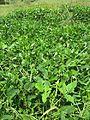 Vigna unguiculata habit1 (10737067553).jpg