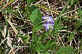 Viola adunca 2800 - Flickr - Andrey Zharkikh.jpg