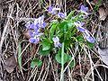Viola collina.jpg