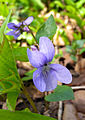 Viola reichenbachiana Aarberg2.JPG