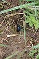 Violet oil beetle - Meloe violaceus - panoramio.jpg
