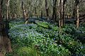Virginia Bluebells, Merrimac Farm Wildlife Management Area, Nokesville, Virginia.jpg