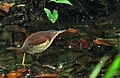Von Schrenck's Bittern (Ixobrychus eurhythmus), Central Catchment Nature Reserve, Singapore - 20140327.jpg