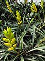 Vriesea bleherae f. atroviolaceifolia (TS) 2-00524.jpg