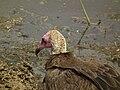 Vulture in Tanzania 3109 Nevit.jpg
