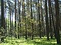 WILCZE ŁUGI WIOSNA 11 - panoramio.jpg