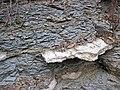 Waynesville Formation (Upper Ordovician; Roaring Run, Warren County, Ohio, USA) 40 (31609641168).jpg