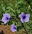 Wayside Tuberose -Ruella tuberosa- flower in Hyderabad, AP W IMG 6628.jpg