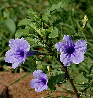 Ruellia - Ruellia tuberosa