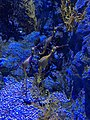 Weedy Seadragon, S.E.A Aquarium, Singapore - 20180220.jpg