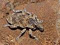 Weevil (Curculionidae) (12931800785).jpg