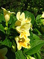 Weigela middendorffiana flowers 03.JPG