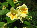 Weigela middendorffiana flowers 04.JPG