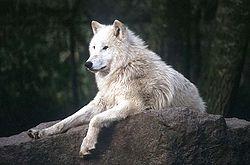 http://upload.wikimedia.org/wikipedia/commons/thumb/a/a2/Weisser_Wolf_Berlin_ca_1998.jpg/250px-Weisser_Wolf_Berlin_ca_1998.jpg