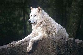 Wikipedia Wolf