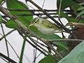 Western-crowned Warbler.jpg
