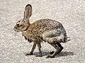 Wet juvenile jackrabbit (34770439442).jpg