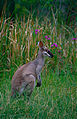 Whiptail Wallaby (Macropus parryi) (10087133996).jpg