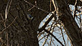 White-breasted Nuthatch (Sitta carolinensis) - London, Ontario.jpg