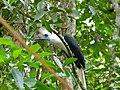 White-crowned Hornbill (Berenicornis comatus) male (8077309422).jpg