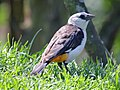 White-headed Buffalo Weaver RWD.jpg