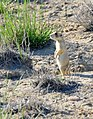 White-tailed prairie dog on Seedskadee National Wildlife Refuge 01 (14614927654).jpg
