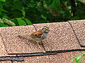 White-throated Sparrow Ottawa.jpg