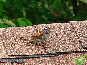White-throated sparrow - Ottawa, Ontario
