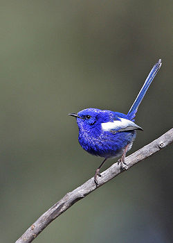 White-winged fairy wren.jpg