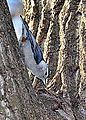 White Breasted Nuthatch (8600829371).jpg