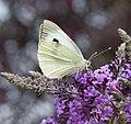 White Butterfly (4923045976).jpg