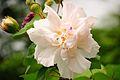 White Hibiscus (5608357424).jpg