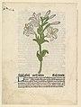 White Lily, illustration from Gart der Gesundheit (Sch.4332) MET DP818920.jpg