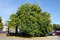 White Mulberry Mannheim 82220000060.jpg