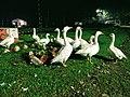 White goose in Assam.jpg