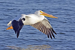 White pelican02 - natures pics.jpg