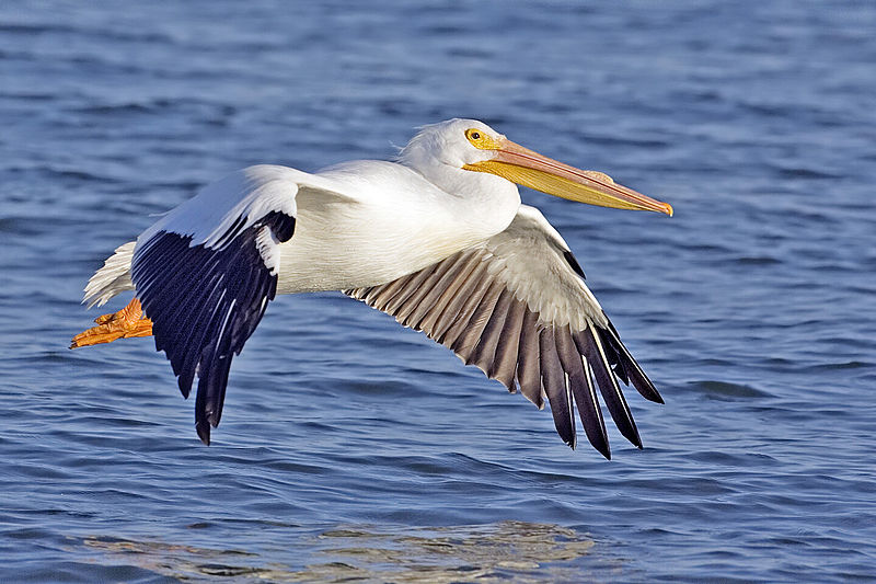 File:White pelican02 - natures pics.jpg
