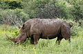White rhinoceros or square-lipped rhinoceros, Ceratotherium simum. Note that in some of these photos there are a female with a calf, and a male that seems to have been challenging the calf. (17339847125).jpg