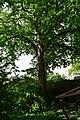 Wien-Hietzing - Naturdenkmal 705 - Baumhasel (Corylus colurna).jpg