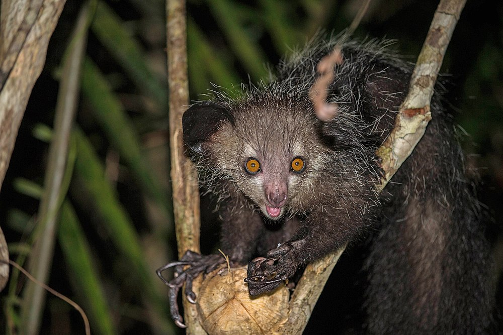 The average litter size of a Aye-aye is 1