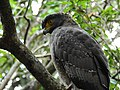 WilpattuNationalPark - February 2018 - Crested serpent eagle (2).jpg