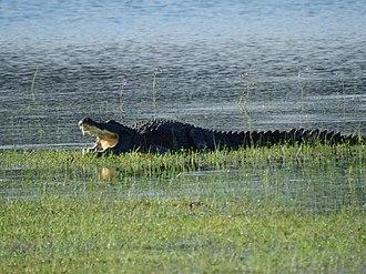 Mugger crocodile - Image: Wilpattu National Park February 2018 Mugger crocodile (1)
