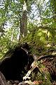 Wilson Stump 06.jpg